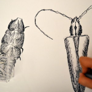 Drawing insects from the Cambridge University Museum of Zoology 'handling collection' with Sheila Ceccarelli