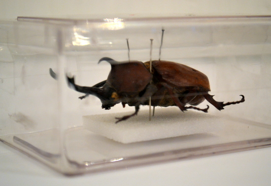 Drawing exotic insects: Rhinoserous Beetle on loan from The University Museum of Zoology, Insect Room, Cambridge