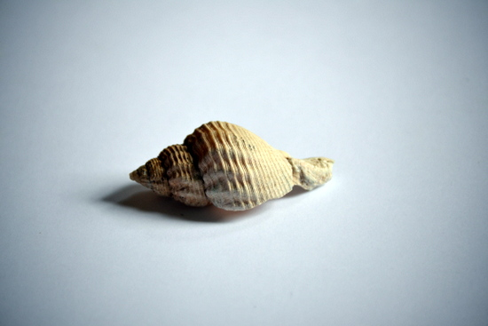 Adam draws a European Whelk on loan from the University Museum of Zoology, Cambridge