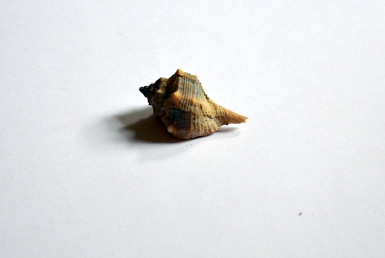 Murex Snail on loan from the University Museum of Zoology, Cambridge