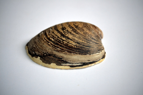 Ocean Quahog on loan from the University Museum of Zoology, Cambridge