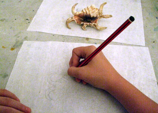 Museum Loans, Spider Conch on loan from the University Museum of Zoology, Cambridge in pencil on tracing paper