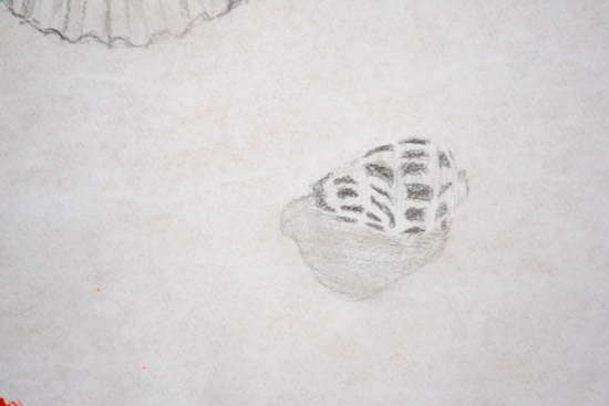 Ellie's drawing of a Black and White Cone Shellon loan from the University Museum of Zoology, Cambridge