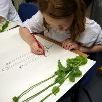 Year 4 student at Ridgefield Primary School concentrates while working on a continuous line drawing of a flower