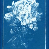 Cyanotype of Gorse