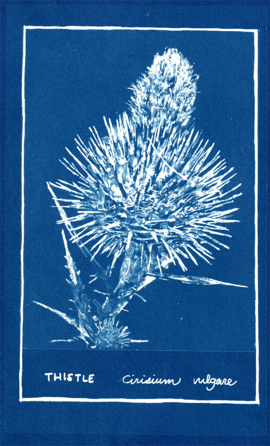 Thistle cyanotype by Maru Rojas