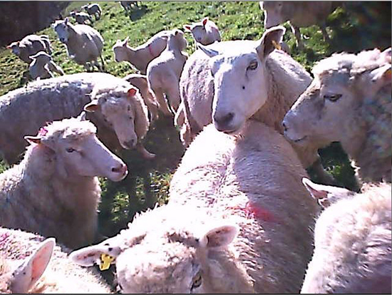 Creative contemporary artwork made in response to sheep farming.