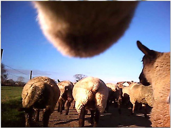 Webcam attached to sheep