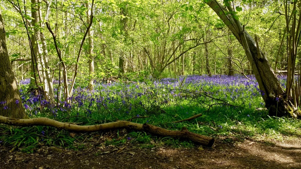 Bluebell forest by Sheila Ceccarelli