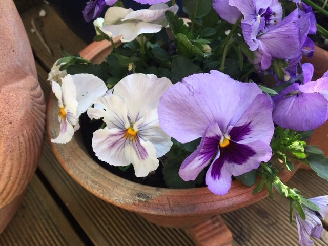 observing pansies in the garden