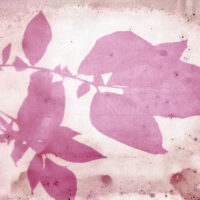 Beetroot Pickle Juice and Potato Leaf Anthotype by Genevieve Rudd